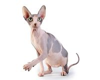 Canadian sphynx on the white background Stock Photography