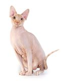Canadian sphynx on the white background Stock Photos