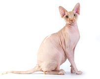 Canadian sphynx on the white background Royalty Free Stock Image