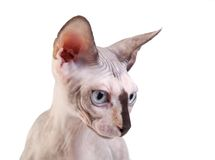 Canadian sphynx on the white background Stock Image