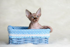 The Canadian sphynx  on white background Royalty Free Stock Image