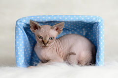 The Canadian sphynx  on white background Royalty Free Stock Images