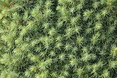 Canadian spruce conica Stock Photography