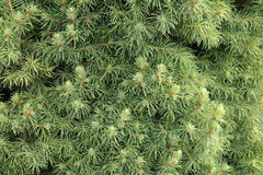 Canadian spruce conica Stock Image
