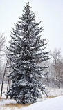 Canadian Spruce tree in winter. Lonely spruce tree during heavy snowfall on farmland in the Canadian Rockies foothills Stock Photography
