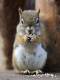 Canadian Squirre. A cute little canadian squirrel stock photo