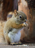 Canadian Squirre. A cute little canadian squirrel royalty free stock photography