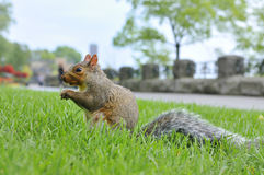 Canadian squirrel Stock Image