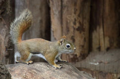 Canadian squirrel. A cute little canadian squirrel stock photos