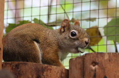 Canadian squirrel. A cute little canadian squirrel royalty free stock photos