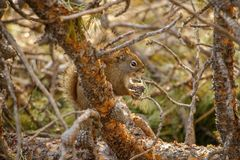 Canadian squirrel hidden in tree, Canmore. Canadian rockies wildlife, animal of canadian mountains, feeding after wintertime stock photos