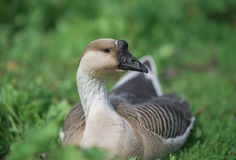 Canadian Swan Goose Stock Images