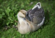 Canadian Swan Goose Royalty Free Stock Photo
