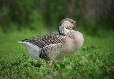 Canadian Swan Goose Royalty Free Stock Photography
