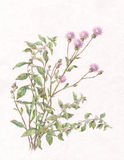 Canadian thistle and wild mint watercolor painting Royalty Free Stock Photo
