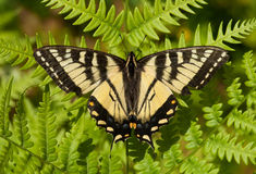 Canadian Tiger Swallowtail Stock Image