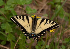 Canadian Tiger Swallowtail Royalty Free Stock Photo