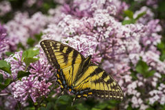Canadian tiger swallowtail butterfly royalty free stock photo