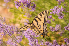 Canadian Tiger Swallowtail Butterfly Stock Photography