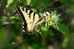 Canadian Tiger Swallowtail Butterfly Stock Image