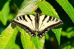 Canadian Tiger Swallowtail Butterfly - Papilio canadensis stock images