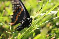 Canadian Tiger Swallowtail on a grass background. close up macro. royalty free stock images