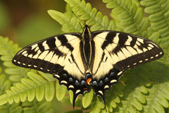Canadian Tiger Swallowtail Royalty Free Stock Photography