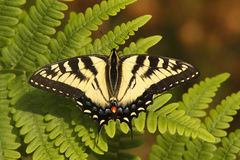 Canadian Tiger Swallowtail Royalty Free Stock Image