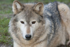 Canadian timber wolf. A canadian timber wolf portrait Royalty Free Stock Photo