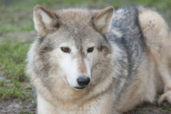 Canadian timber wolf Royalty Free Stock Images