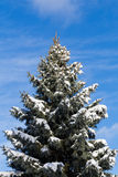 Canadian Trees in the Winter Royalty Free Stock Photo