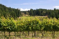 Canadian west coast vineyard. A vineyard on Saturna Island, the west coast of Canada Royalty Free Stock Photo