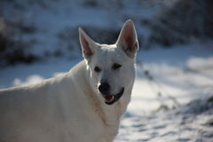 Canadian white shepherd Royalty Free Stock Photos