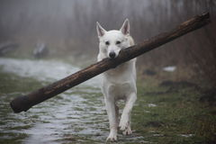 Canadian white shepherd walking with a massive log Royalty Free Stock Photography