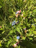 Canadian wild blueberries Stock Image