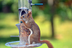 Canadian Wild Brown Squirrel. Wild brown squirrel outdoors chewing on bird feeder perch royalty free stock photo