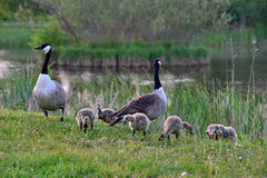 Canadian wild geese and their goslings Stock Photos