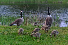 Canadian wild geese and their goslings Stock Photo