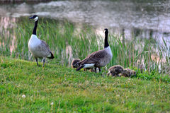 Canadian wild geese and their goslings Stock Image