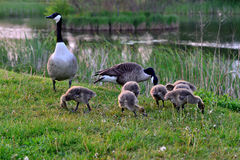 Canadian wild geese and their goslings Royalty Free Stock Image