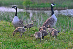 Canadian wild geese and their goslings Stock Photography