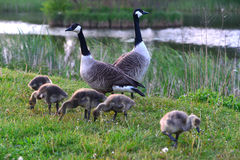 Canadian wild geese and their goslings Royalty Free Stock Photography