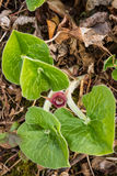 Canadian Wild Ginger Royalty Free Stock Photo