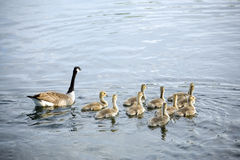 Canadian wild goose and ten goslings Royalty Free Stock Image