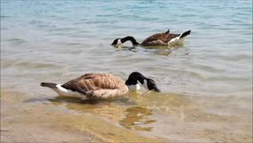 Canadian wild goose stock video footage