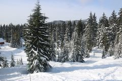 Canadian Winter Big firs path Snow Admire Landscapes. Canadian Winter is amazing Royalty Free Stock Image