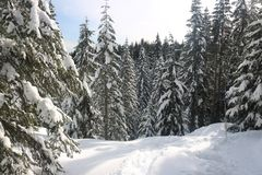 Canadian winter big firs snow admire landscapes. Canadian Winter is amazing Stock Photography
