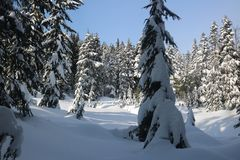 Snow branch firs canadian winter vancouver. Canadian Winter is amazing Royalty Free Stock Photo