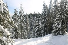 Canadian winter big firs snow admire landscapes. Canadian Winter is amazing Royalty Free Stock Images