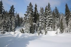 Canadian Winter Big firs Snow Admire Landscapes. Canadian Winter is not a joke Stock Photo